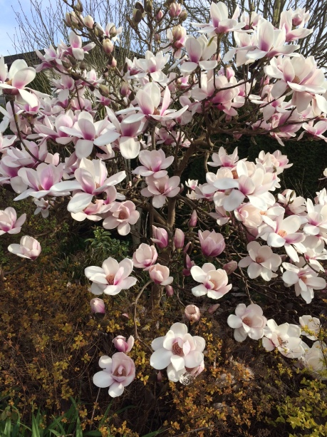 Magnolia blossoms 2016 medium.jpg